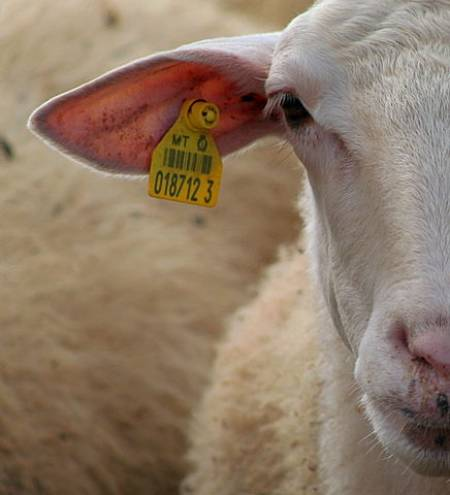 Cropped close-up of a Maltese sheep's face (with ear tag) par John Haslam
